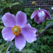 Location: In my Northern California gardenDate: 2012-08-25