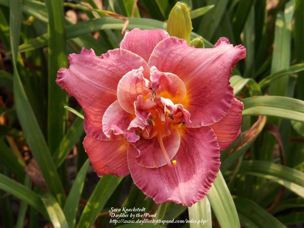 Photo of Daylily (Hemerocallis 'Lumbee Lace') uploaded by Joy