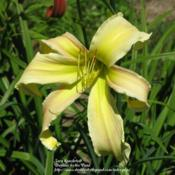 Photo Courtesy of Daylilies by the Pond. Used with Permission.