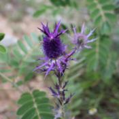 Date: August 25, 2012Eryngo in bloom