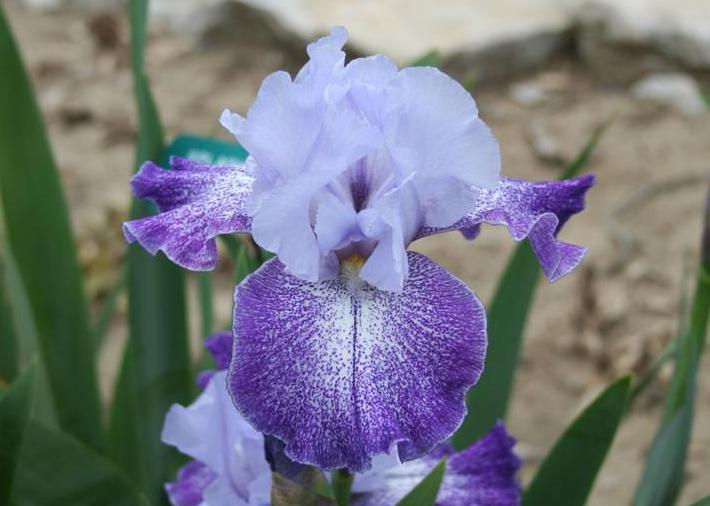 Photo of Tall Bearded Iris (Iris 'Splashacata') uploaded by KentPfeiffer