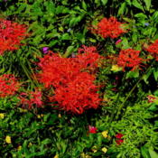 Location: Butterfly gardenDate: 2012-08-28Blooming Late August...beautiful display of red in my g