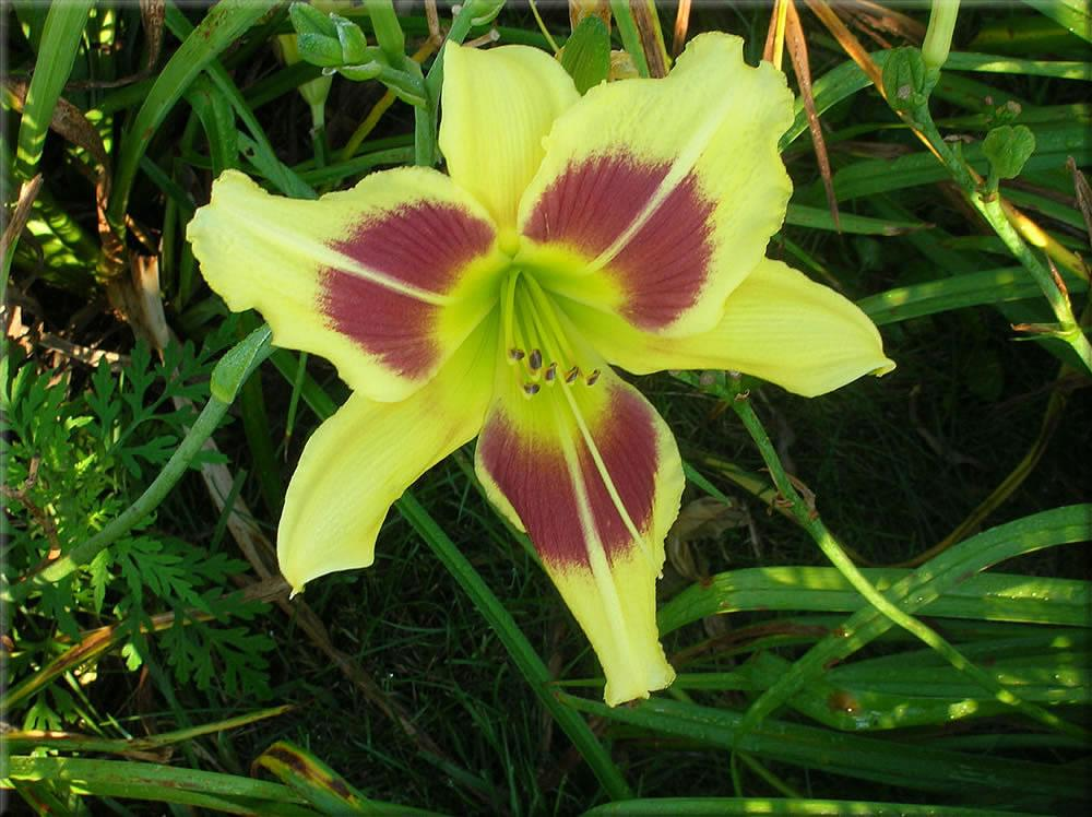 Photo of Daylily (Hemerocallis 'Shady Lady') uploaded by vic