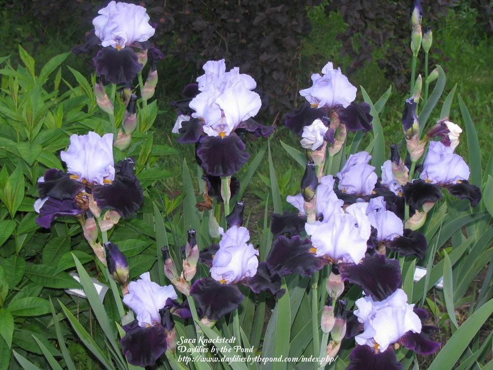 Photo of Tall Bearded Iris (Iris 'Habit') uploaded by Joy