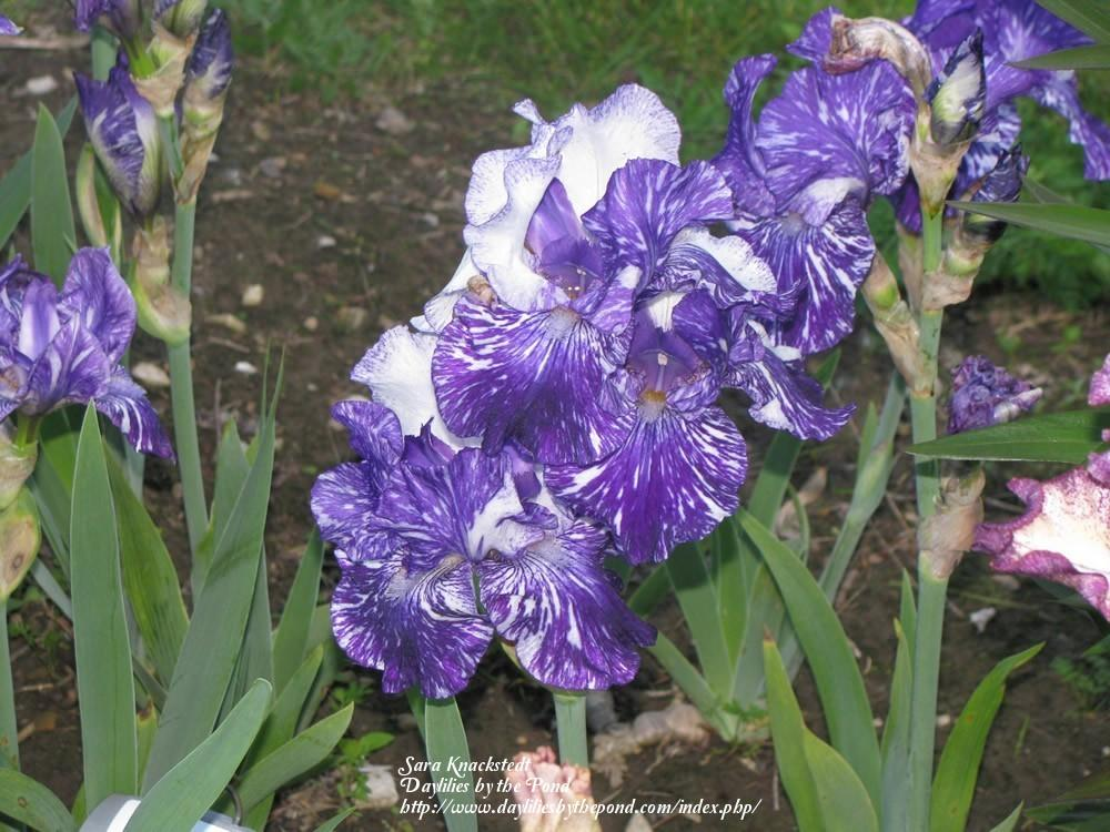 Photo of Border Bearded Iris (Iris 'Batik') uploaded by Joy