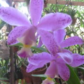 Date: 2012-05-24Cattleya x brabantiae, Brazilian species
