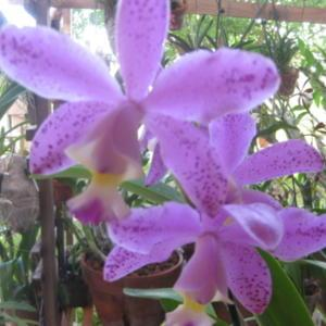 Cattleya x brabantiae, Brazilian species