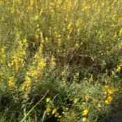 Location: Local Native MeadowDate: 2012-08-27Meadow full of Partridge Pea