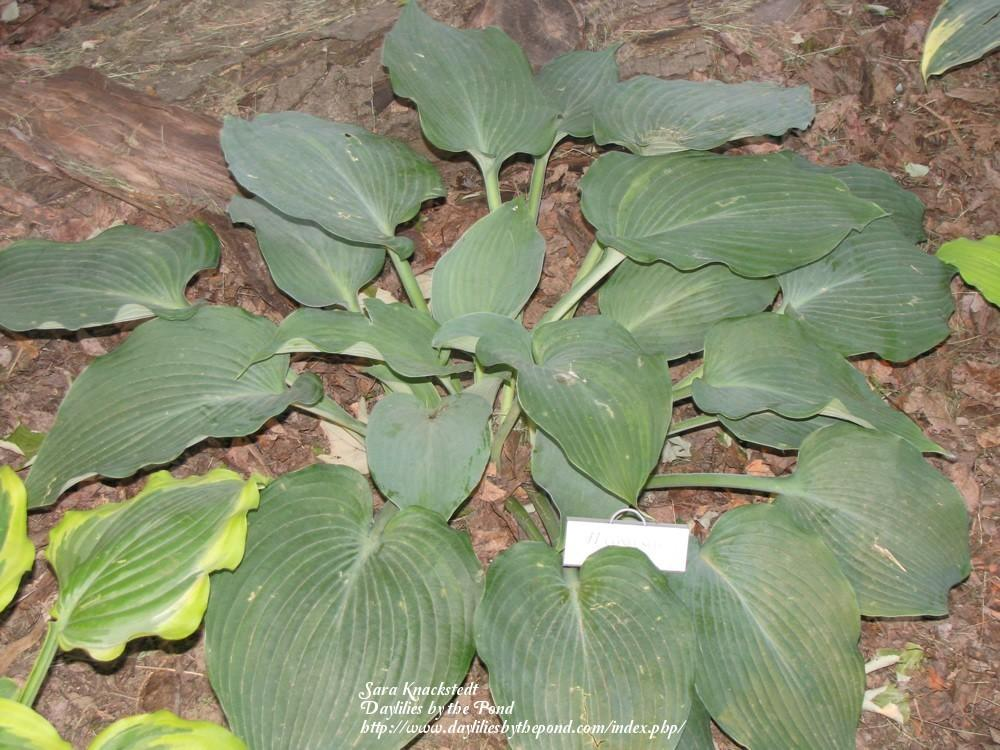 Photo of Hosta 'Confused Angel' uploaded by Joy
