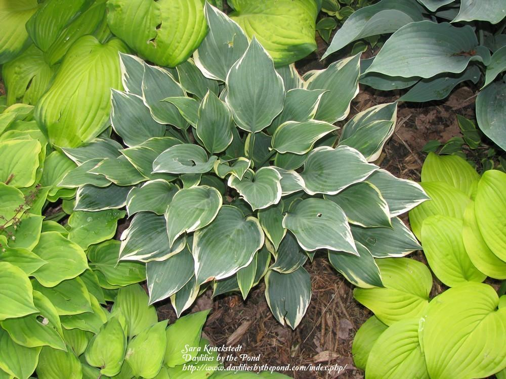 Photo of Hosta 'Chantilly Lace' uploaded by Joy
