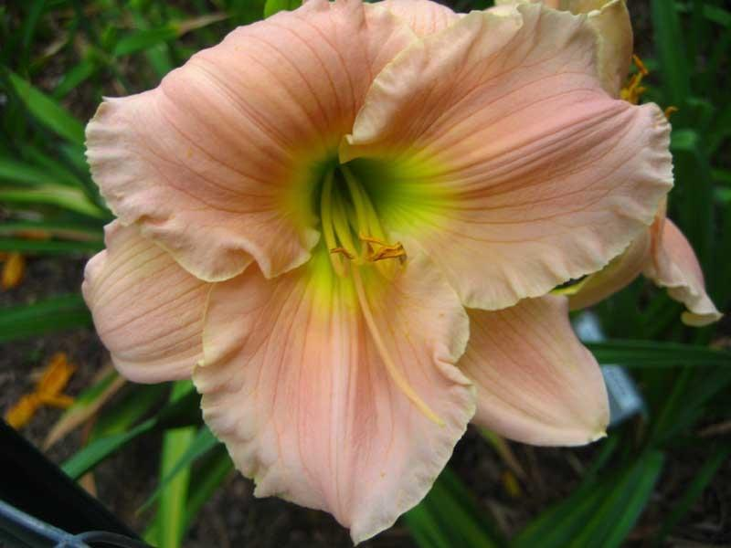 Photo of Daylily (Hemerocallis 'Barbara Mitchell') uploaded by Natalie