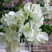 Location: Houston areaDate: 2012-09-01White is not exciting but it sure is pretty and brighte