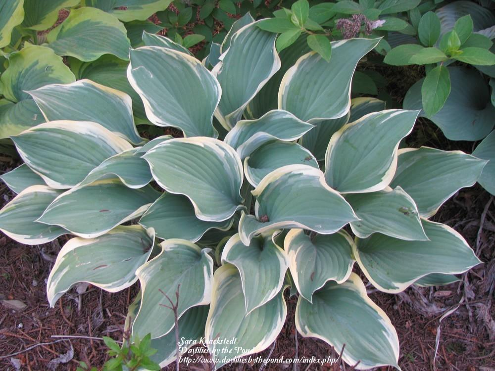 Photo Of The Entire Plant Of Hosta Regal Splendor Posted By Joy