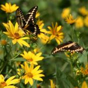 Location: Jacksonville, TXDate: September 2nd, 2012#Pollination - The #Butterflies love this plant.
