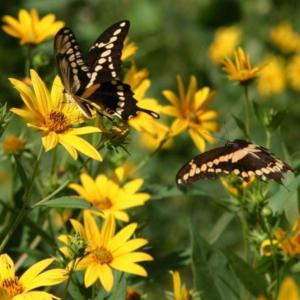 #Pollination - The #Butterflies love this plant.