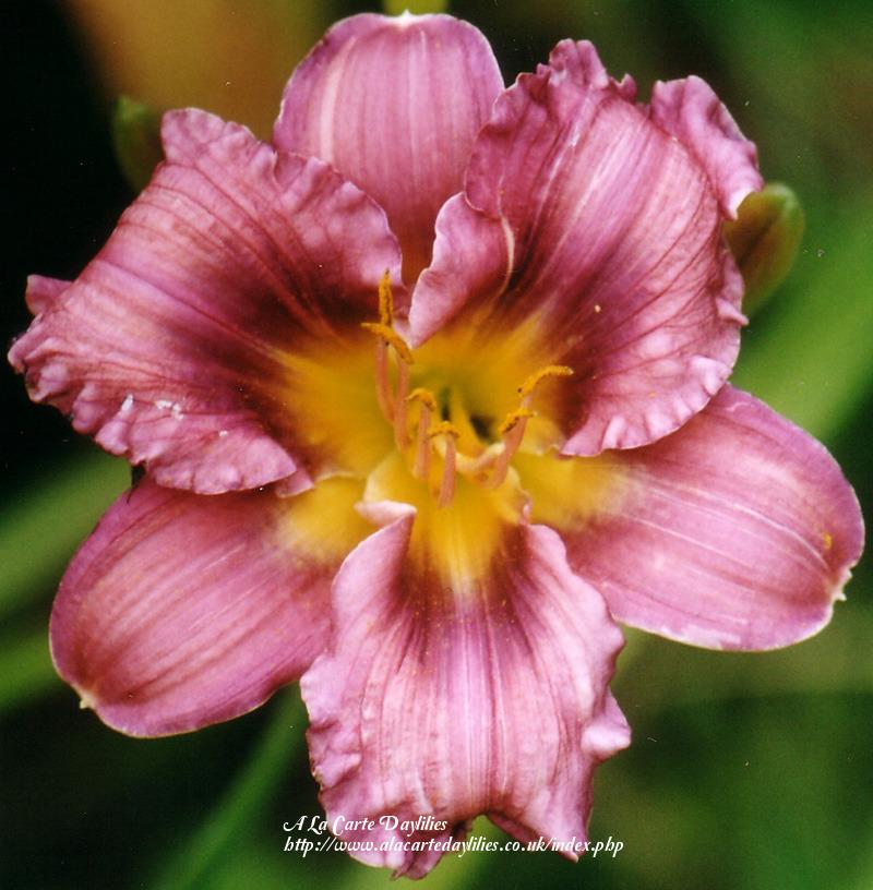 Photo of Daylily (Hemerocallis 'Alpine Mist') uploaded by Joy