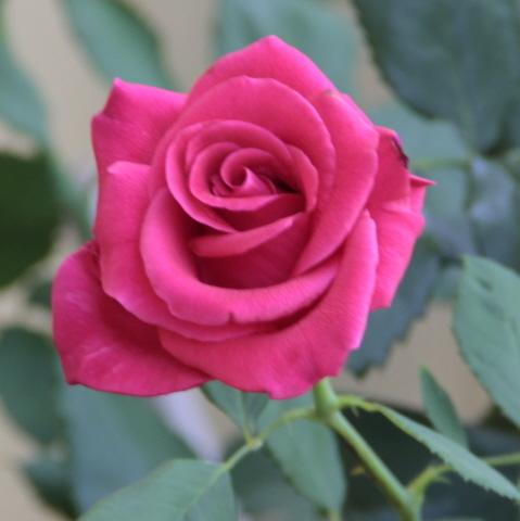 Photo of Rose (Rosa 'Deja Blu') uploaded by Maryl