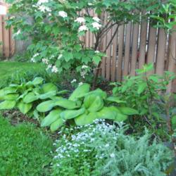 Hosta Information and Growing Tips