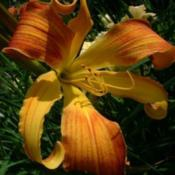 Photo Courtesy of A La Carte Daylilies. Used with Permi
