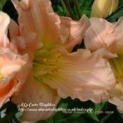 Photo Courtesy of A La Carte Daylilies. Used with Permission.