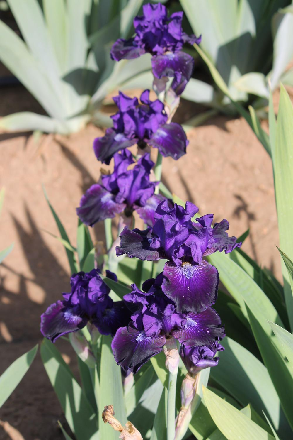 Photo of Intermediate Bearded Iris (Iris 'Star in the Night') uploaded by ARUBA1334