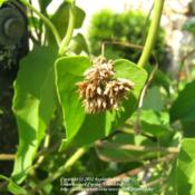 Location: Daytona Beach, FloridaDate: 2012-09-06 Fading blooms