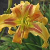 Photo Courtesy of Daredevil Daylilies. Used with Permission