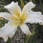 Photo Courtesy of Daredevil Daylilies. Used with Permis