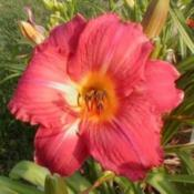 Photo Courtesy of CHARMnRON DAYLILIES. Used with Permis