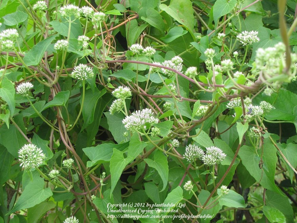 Photo of Climbing Hempvine (Mikania scandens) uploaded by plantladylin