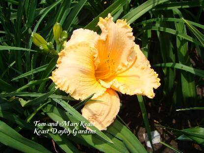Photo of Daylily (Hemerocallis 'Decatur Piecrust') uploaded by Joy