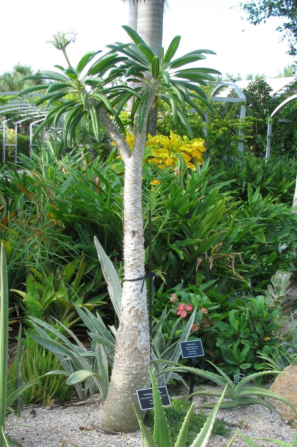 Photo of the entire plant of madagascar palm pachypodium for Planting a garden