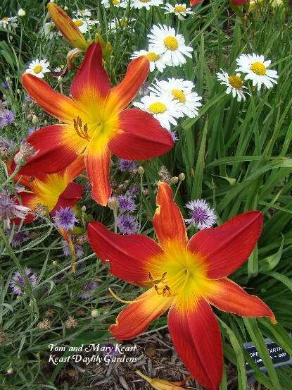 Photo of Daylily (Hemerocallis 'Open Hearth') uploaded by Joy