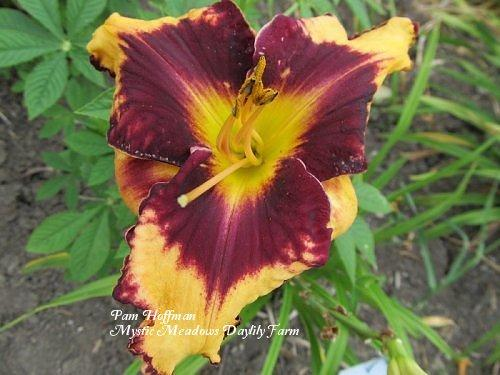 Photo of Daylily (Hemerocallis 'Gavin Petit') uploaded by Joy