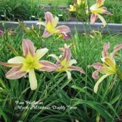 Photo Courtesy of Mystic Meadows Daylily Farm. Used with Permissi