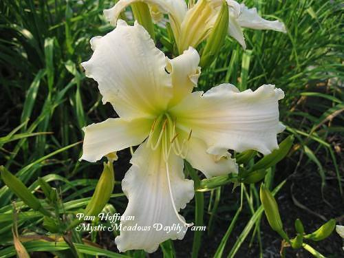 Photo of Daylily (Hemerocallis 'Heavenly Angel Ice') uploaded by Joy