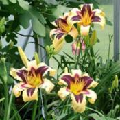 Location: Thoroughbred Daylilies, Greenhouse, Paris KY