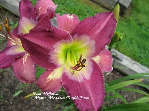 Photo of Daylily (Hemerocallis 'Swallow Tail Kite') uploaded by Joy