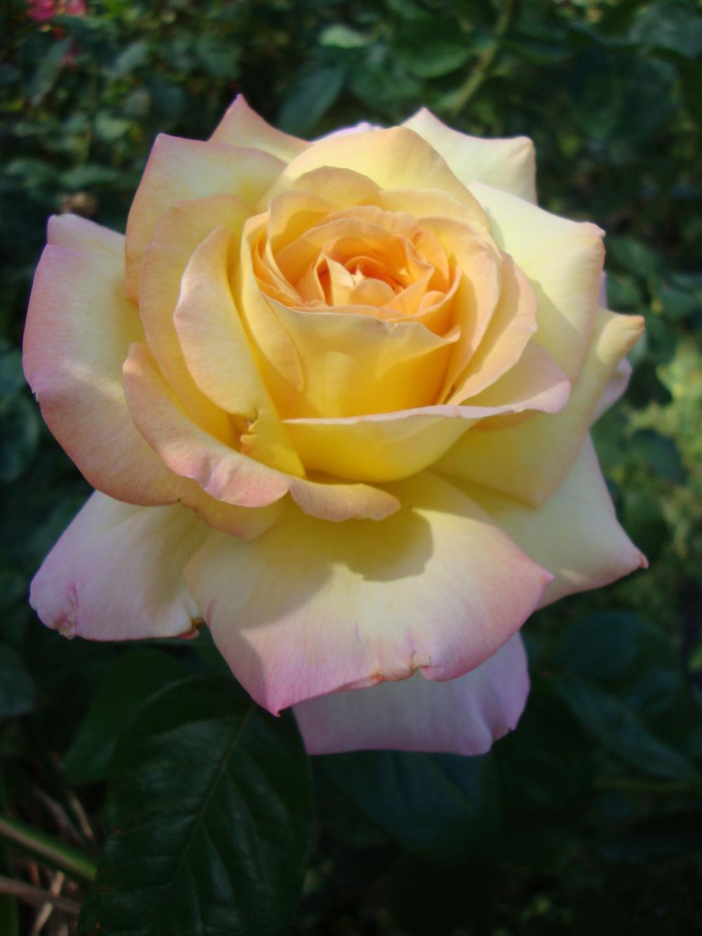 Photo of Rose (Rosa 'Peace') uploaded by Paul2032