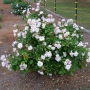 Location: My garden in northeast TexasDate: 2012 AprilA wonderful polyantha rose