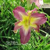 Photo Courtesy of Mystic Meadows Daylily Farm. Used wit