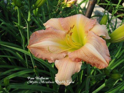 Photo of Daylily (Hemerocallis 'Bama Belle') uploaded by Joy