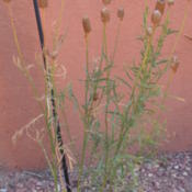 Location: At Manitou Cliff Dwellings, Manitou, ColoradoDate: 2012-08-03Cylindrical seed heads.  Self-seeds readily.