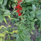 Location: ColoradoDate: 2012-09-17Cardinal flower in Colorado