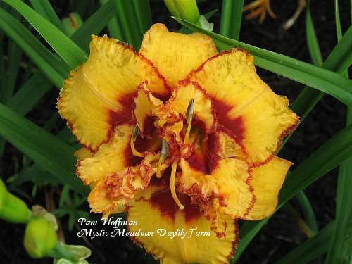 Photo of Daylily (Hemerocallis 'Two Part Harmony') uploaded by Joy