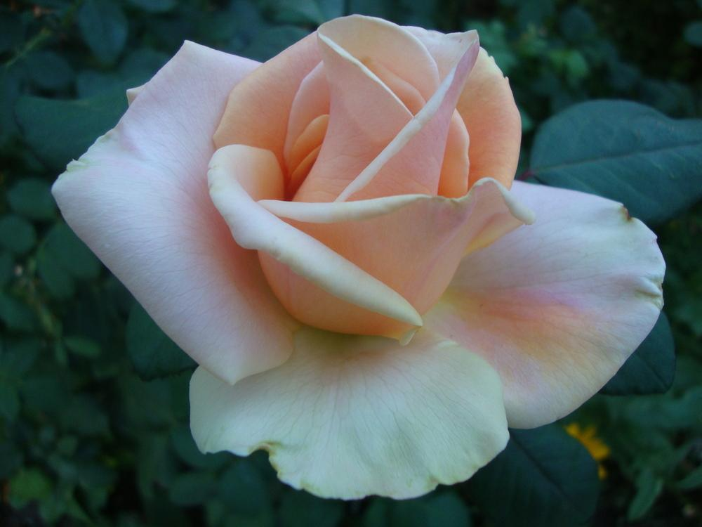 Photo of Rose (Rosa 'Marilyn Monroe') uploaded by Paul2032