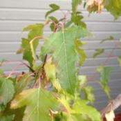 Date: 2012-09-17One of my other flame amur maples.  I bought these as t