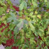 Date: 2012-09-17My 4 year old Amur Maple.  It's now over 6' tall. I bou