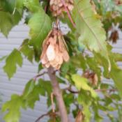 Location: Denver Metro, CODate: 2012-09-17Samaras from one of my Amur maples