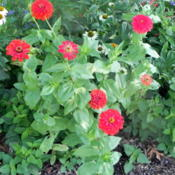 Location: Butterfly gardenDate: 2012-09-18'Scarlet Flame' Red Zinnias